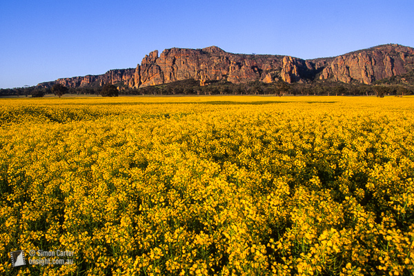 Canola dawn, Mount Arapiles